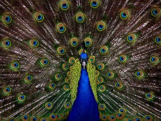 """Living Life Like a Boss"" Peacock"